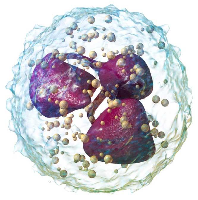 Полиморфно-ядерная клетка - Нейтрофил