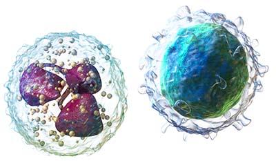 Разница между Полиморфноядерными и Мононуклеарными клетками