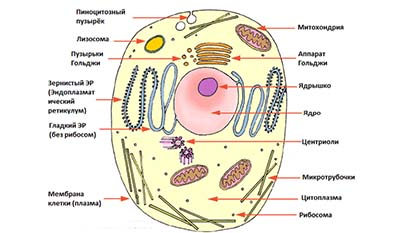 Разница между клеткой и атомом