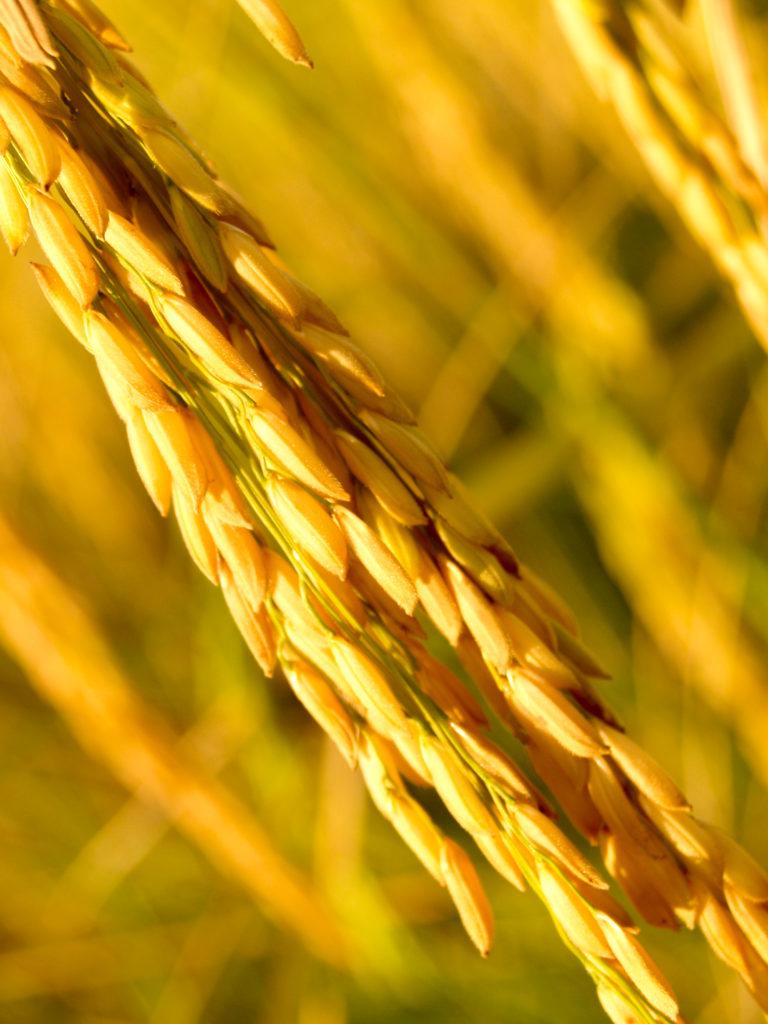 Трансгенное растение - Золотой рис