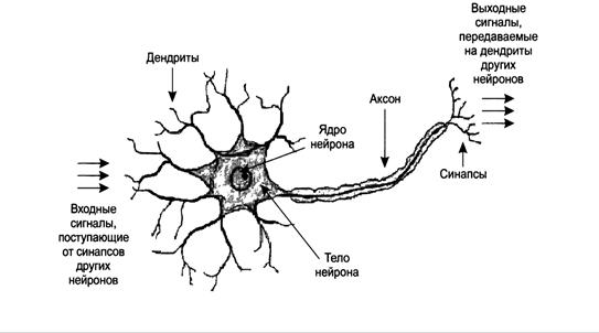 Биологический Нейрон - схема работы