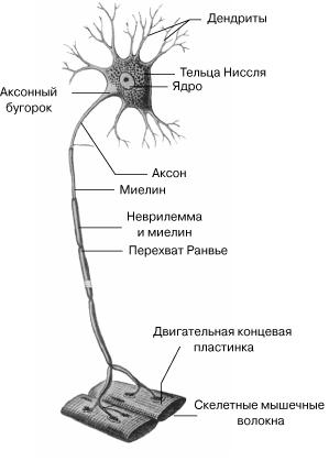 Двигательный Нейрон