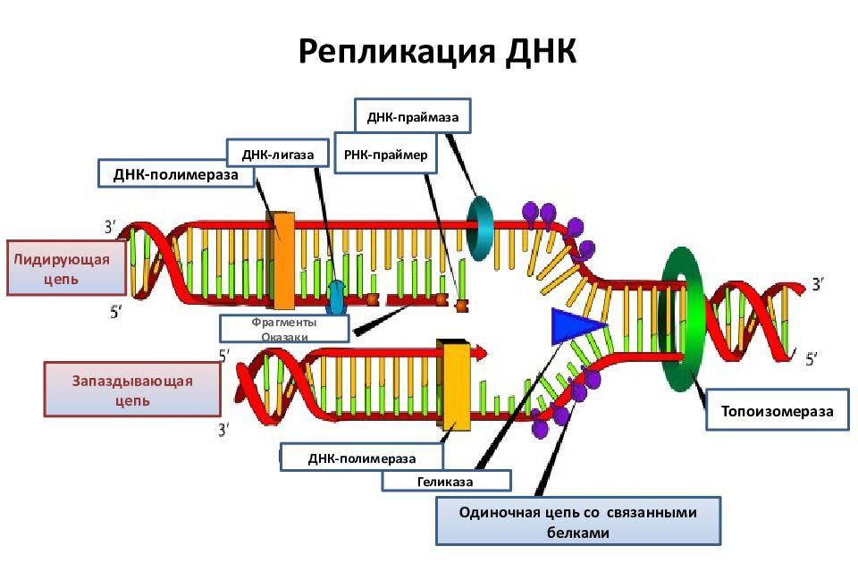 Геликаза во время репликации ДНК