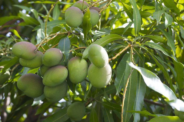Поликарпическое растение - манго