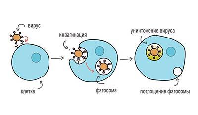 Разница между Фагоцитозом и Опсонизацией
