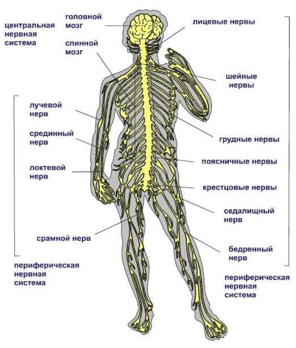 Строение Нервной Система человека