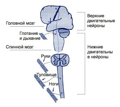 Виды Болезней Двигательного Нейрона