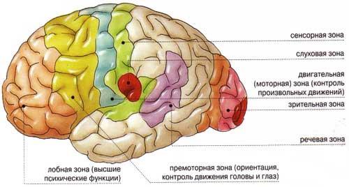 Зоны мозга человека