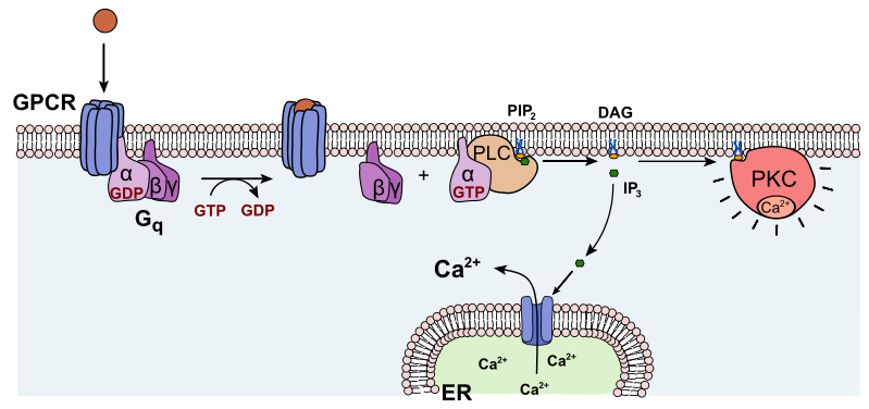 Механизм активации Протеинкиназы C