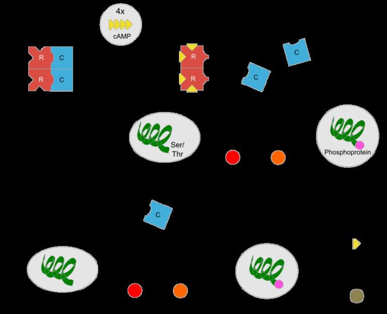Механизмы активации и инактивации Протеинкиназы А (PKA )