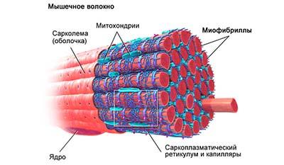Разница между Эндомизием и Сарколеммой