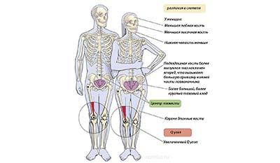 Разница между Мужским и Женским скелетом