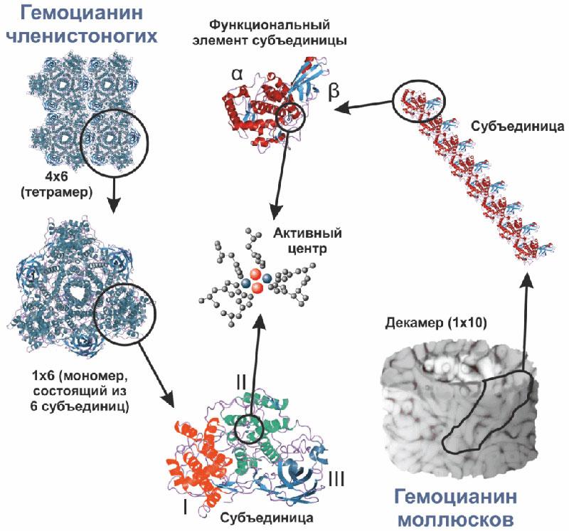 Гемоцианин членистоногих и моллюсков