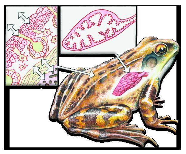 Кожно-лёгочное дыхание лягушки