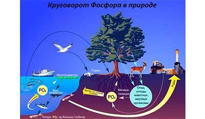 Разница между Круговоротом Углерода и Круговоротом Фосфора в природе