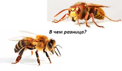 Разница между Пчелами и Шершнями