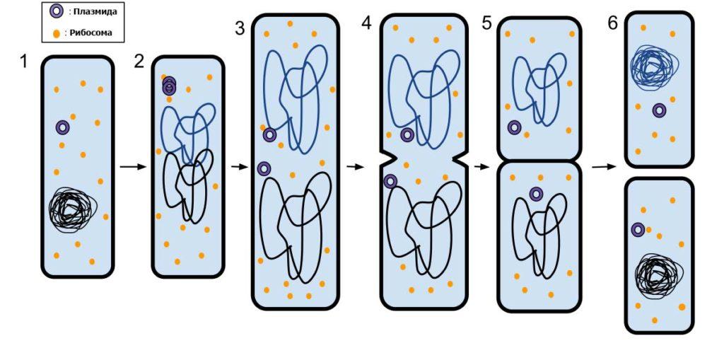 Бинарное деление клетки
