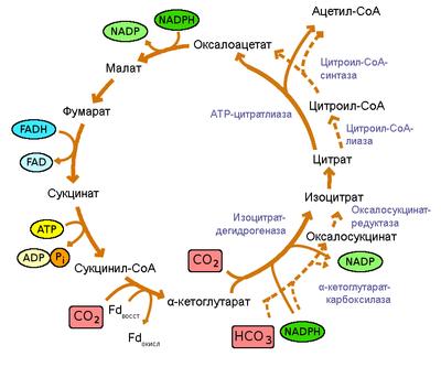 Цикл трикарбоновых кислот - цикл Кребса