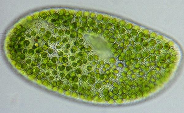 Хлорелла под микроскопом