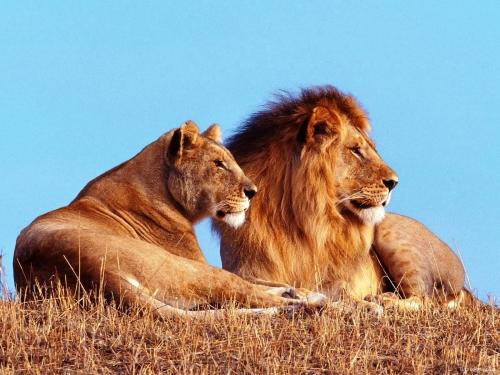 Лев и львица - пример Однополых организмов