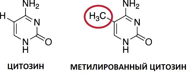 Метилирование цитозина