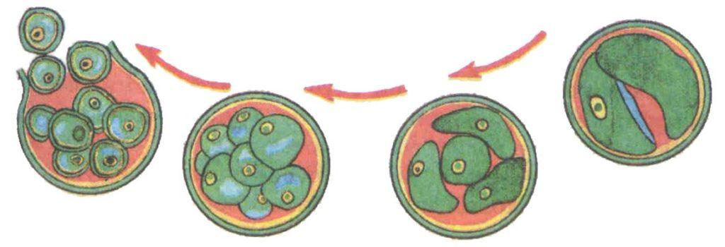 Множественное деление на примере Хлореллы