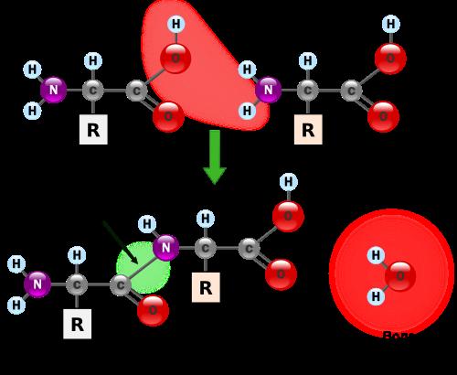 Образование Дипептида с Пептидной связью из аминокислот