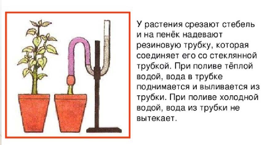 Опыт, демонстрирующий корневое давление у растений