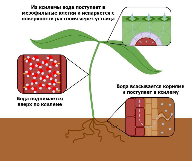 Транспирация у растений