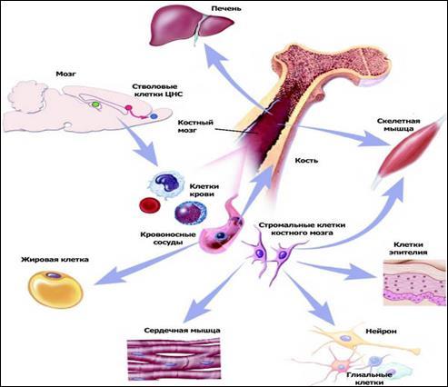 Костный мозг в качестве источника стволовых клеток