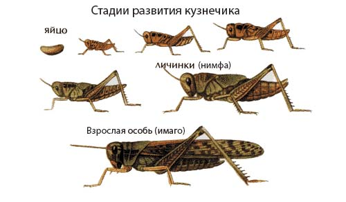 Неполный метаморфоз на примере кузнечика