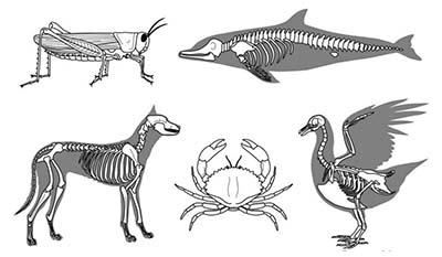 Разница между Экзоскелетом и Эндоскелетом