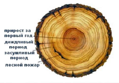 Определение возраста и условий роста ствола по годичным кольцам