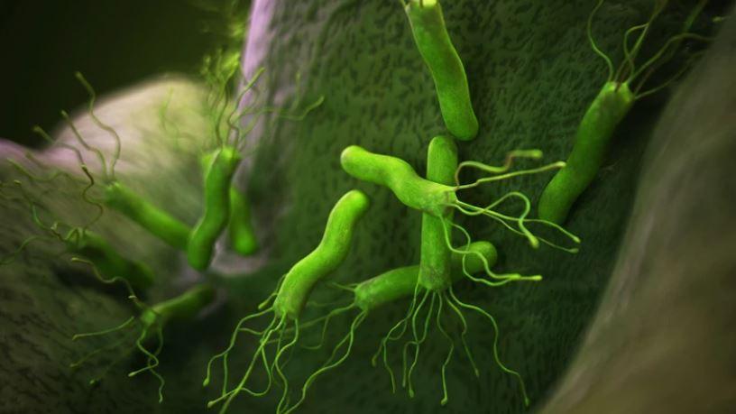 Бактерия Хеликобактер пилори (Helicobacter pylori)