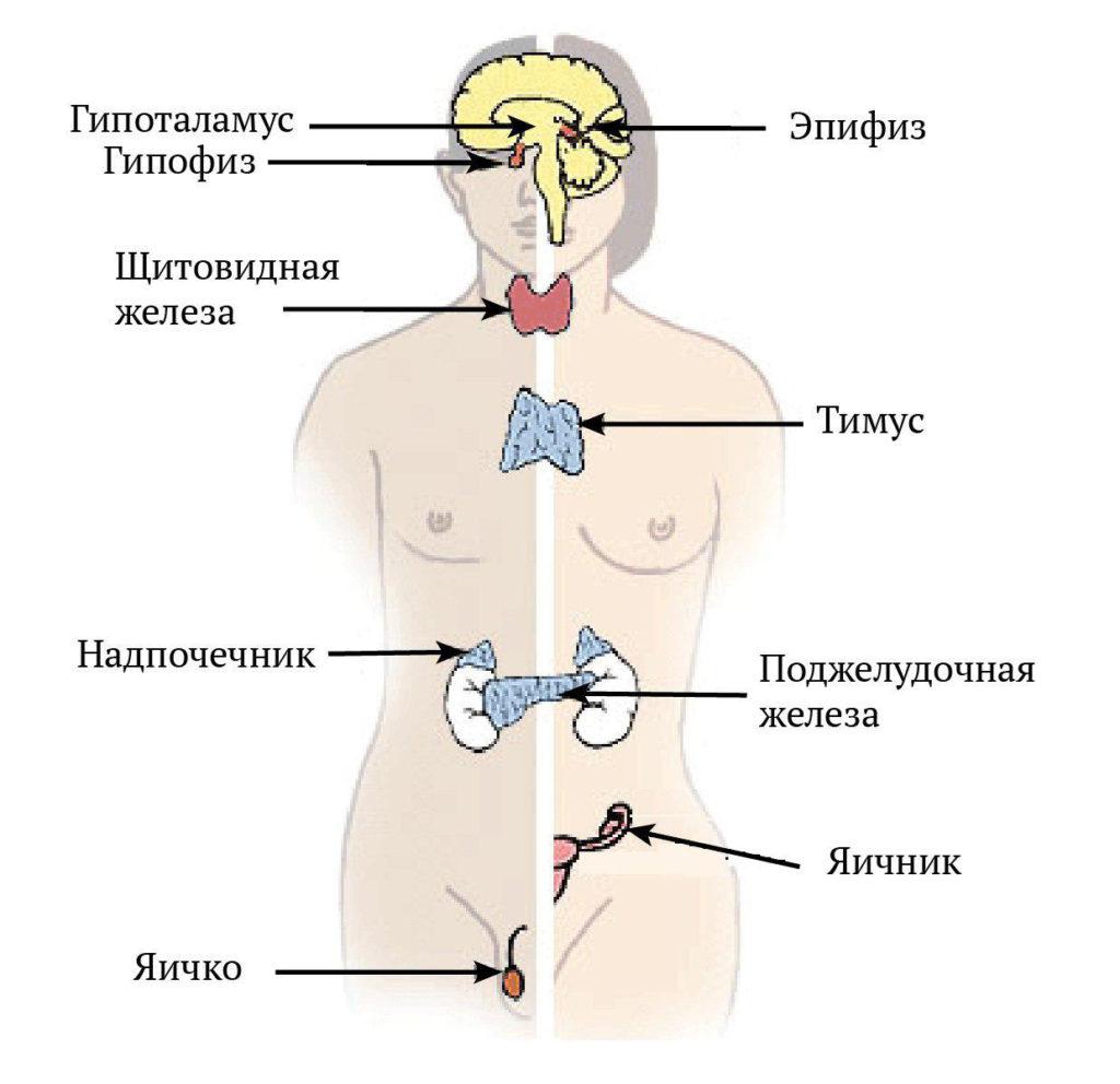 Эндокринная система у мужчин и женщин