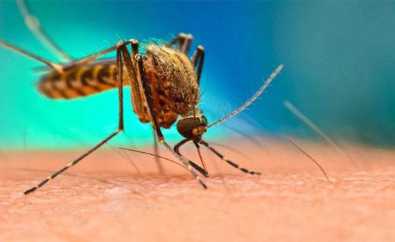 Лихорадка Денге распространяется комарами вида Aedes