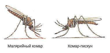Отличие Малярийного комара и комара-пискуна