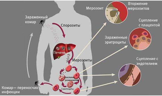 Пути циркуляции Малярии