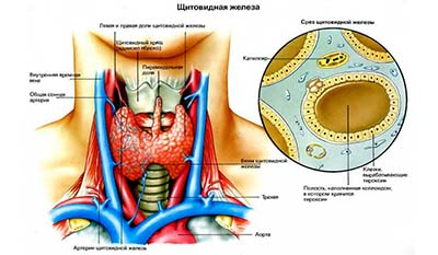 Разница между между Фолликулярными и Парафолликулярными клетками