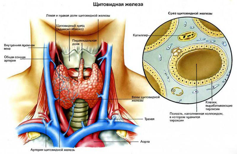Щитовидная железа - строение