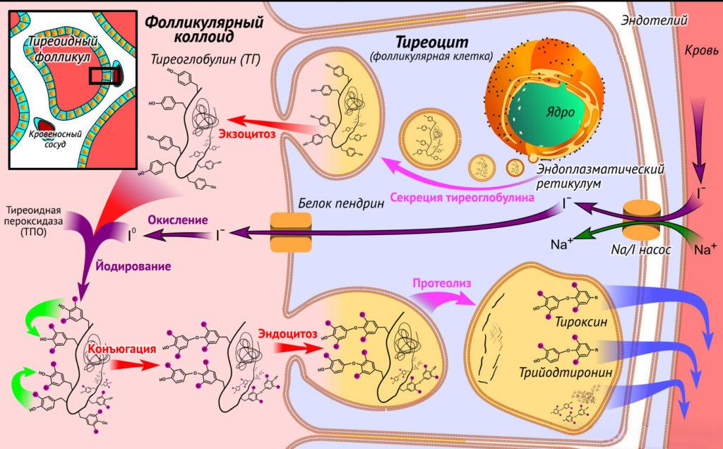 Синтез гормонов щитовидной железы