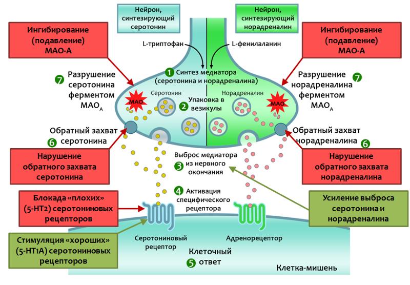 Механизмы действия антидепрессантов