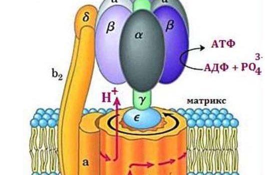 Строение АТФ-синтазы у митохондрий