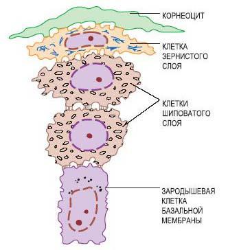 Преобразование кератиноцита в корнеоцит