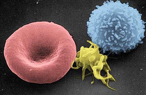 Элементы крови под микроскопом: эритроцит, тромбоцит, лейкоцит