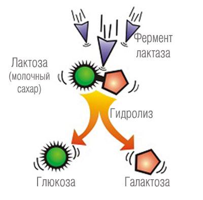 Расщепление Лактозы с помощью фермента Лактаза