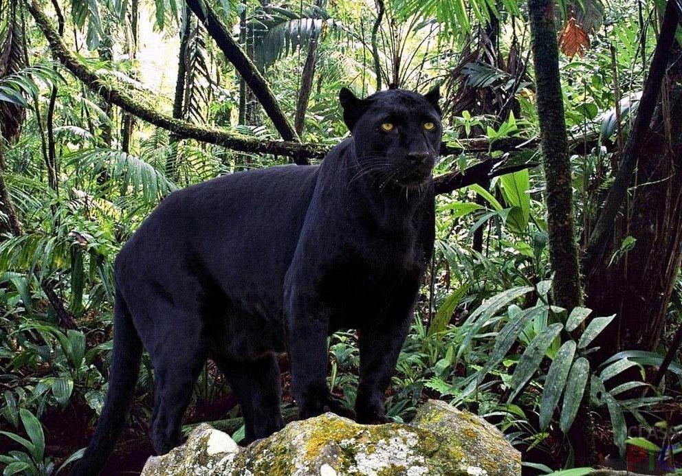 Наиболее ярким примером меланизма является Чёрная пантера
