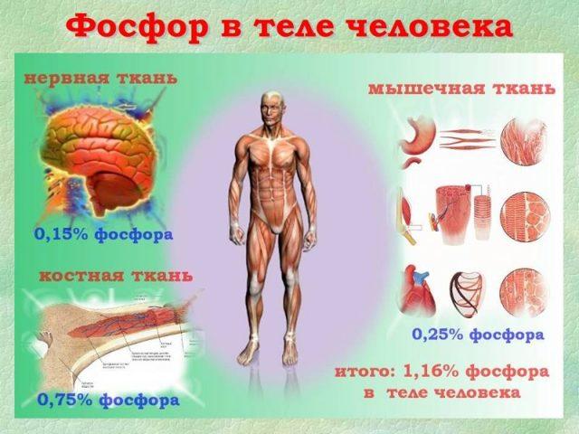 Содержание Фосфора в человеке