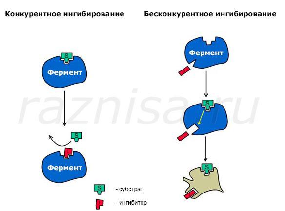 Ферменты являются биологическими катализаторами, ускоряющие реакции в клетках а так же отвечают за регулирование в организме обмена веществ