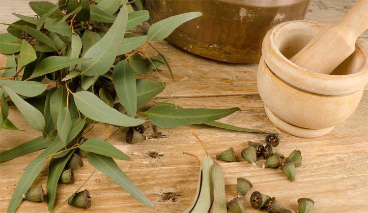 Листья эвкалипта богаты терпенами, цинеолом(эвкалиптол), а также флавоноидами и другими антиоксидантами